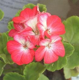 Цветок похожий на герань как называется