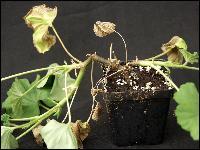 Комнатные растения фото плетущиеся
