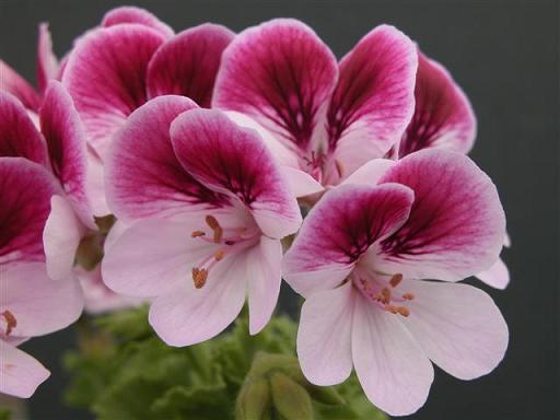 Сиренево розовые цветы 24