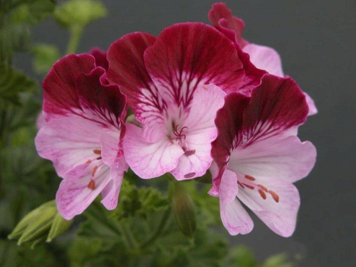 Герань (пеларгония) розовая с темным центром