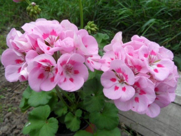 Герань (пеларгония) розовая с темной серединкой