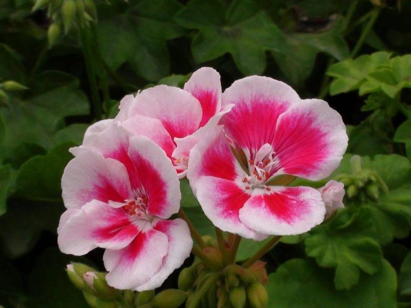 Герань розовая с темной серединкой