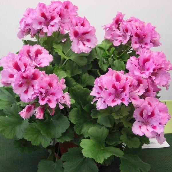 Герань (пеларгония) королевская коричнево-розовая