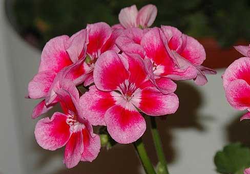 Герань розовая с белым центром