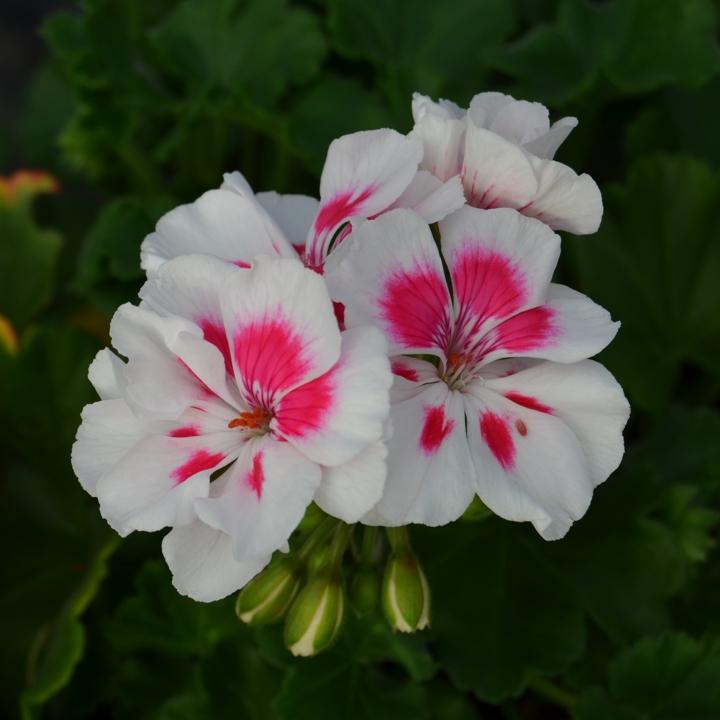 Герань розовая с белой серединкой