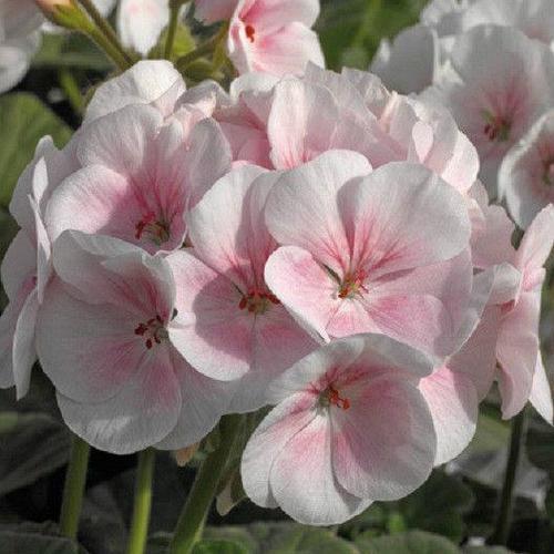 Герань нежно-розового цвета (как яблоневый цвет)