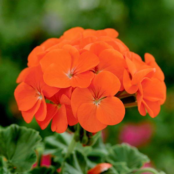 Оранжевая герань