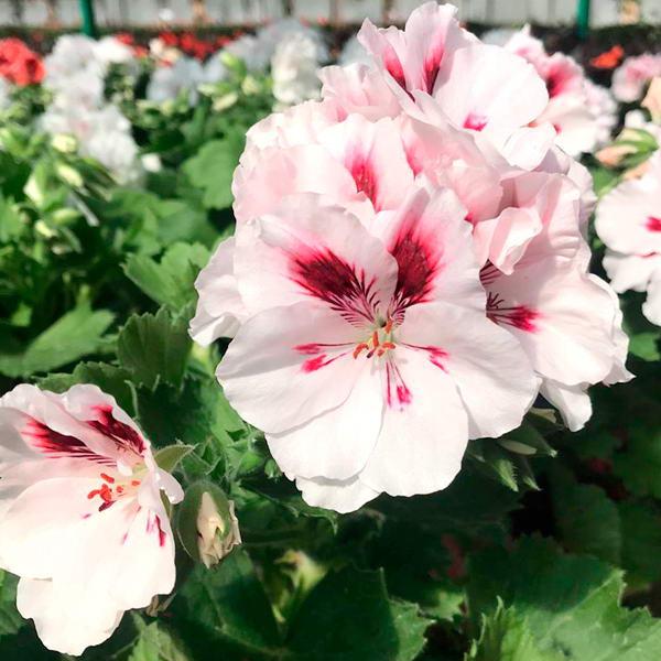 Герань (пеларгония) розовая с белым центром