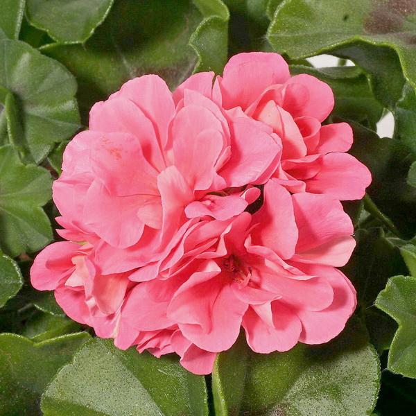 Герань (пеларгония) плющелистная розовая