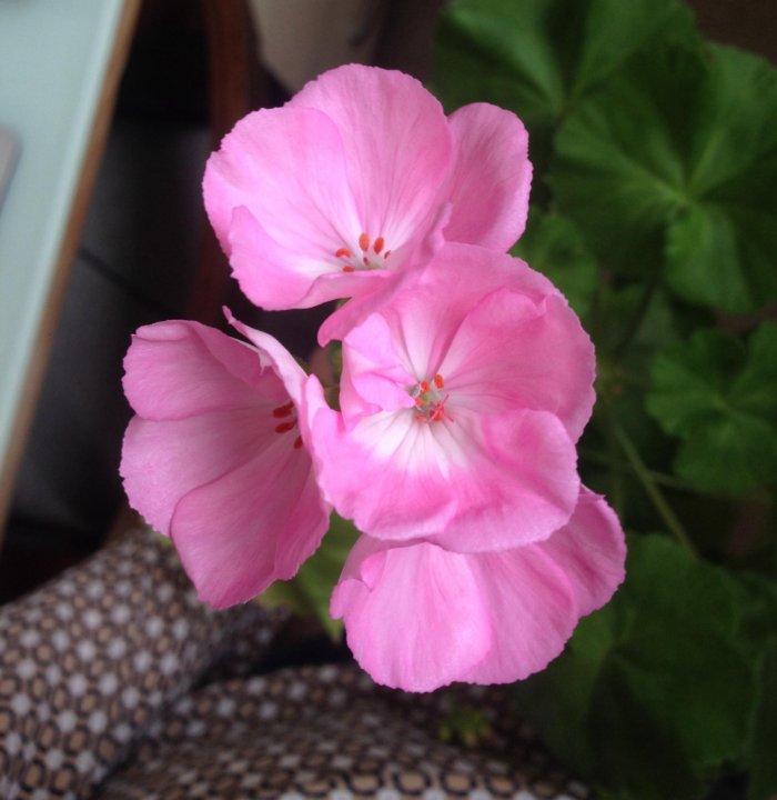 Герань (пеларгония) розовая с белой серединкой