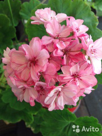 Герани (пеларгонии) Occold Lagoon и розовая с белой серединкой