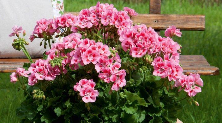 Герани (пеларгонии) нежно-розовая и сиренево-розовая