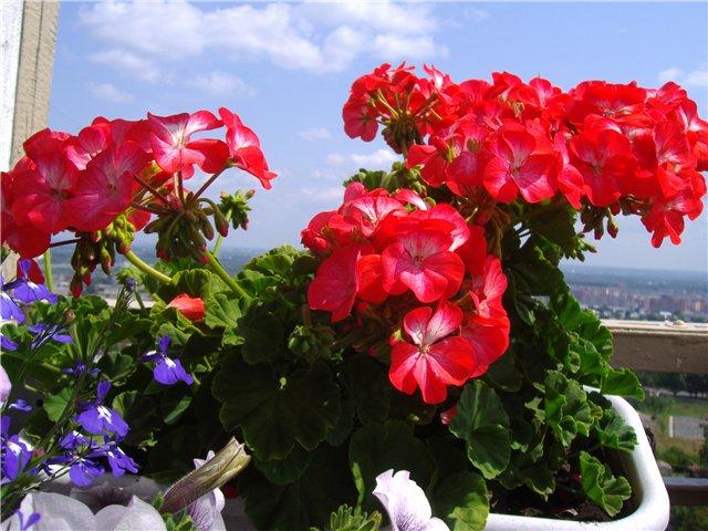 Зональные и плющелистные пеларгонии в пристенном цветнике