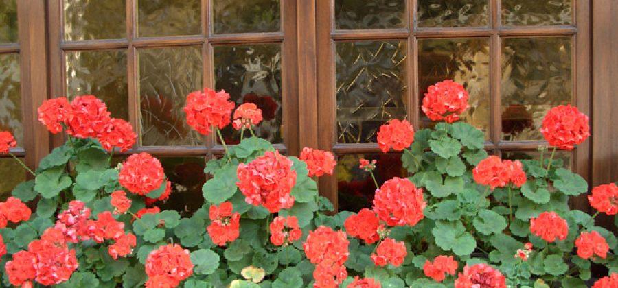 Пеларгонии в пристенном цветнике
