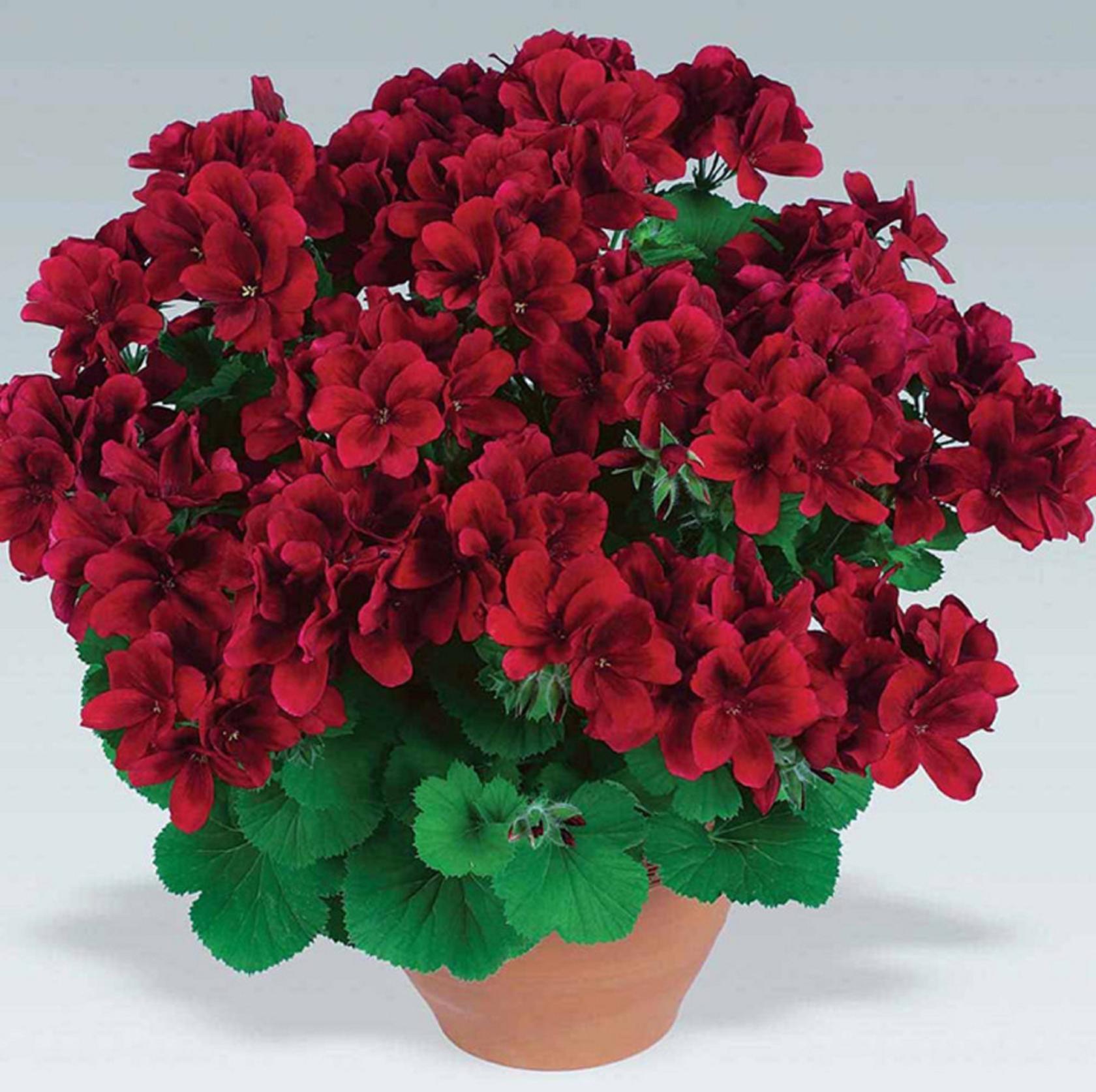 Герани (пеларгонии) красная и малиновая