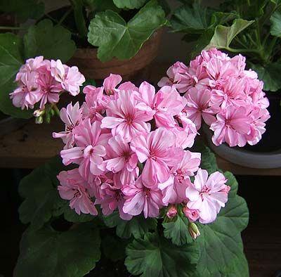 Герани (пеларгонии) нежно-розовая и малиновая