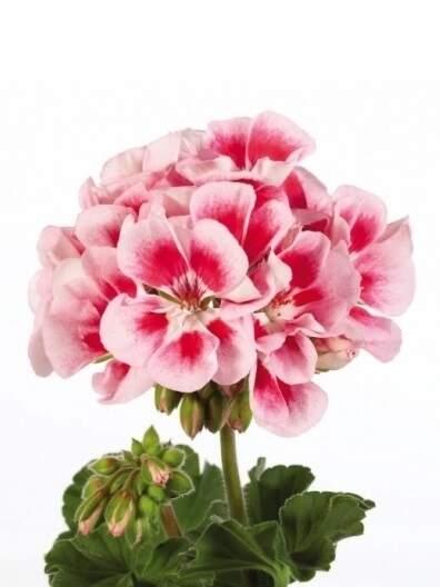 Герань (пеларгония) бело-розовая