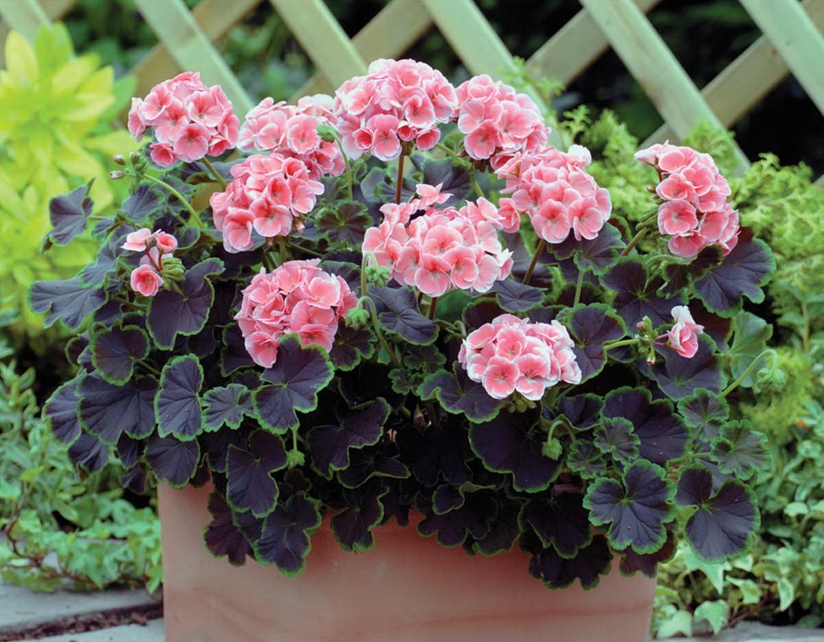 Герани (пеларгонии) малиновая, красно-кирпичная и нежно-розовая