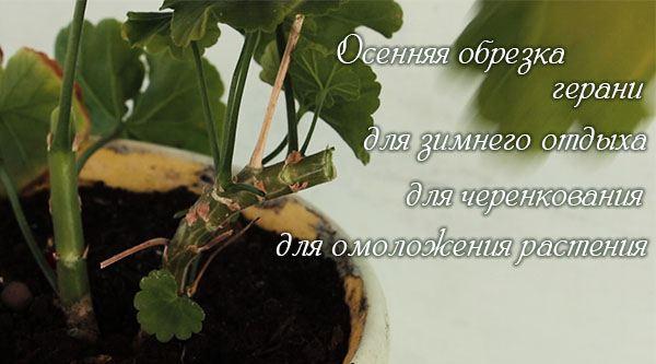 Герани (пеларгонии) осенью