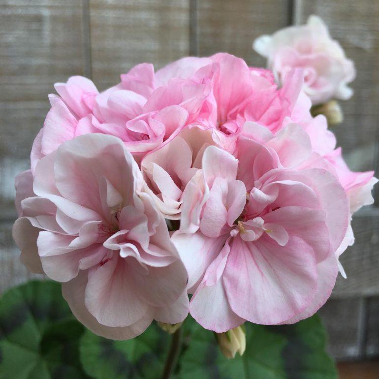 """Герань (пеларгония) темно-розовая с белым центром из сорта """"Ранний универсал"""" (смесь)"""