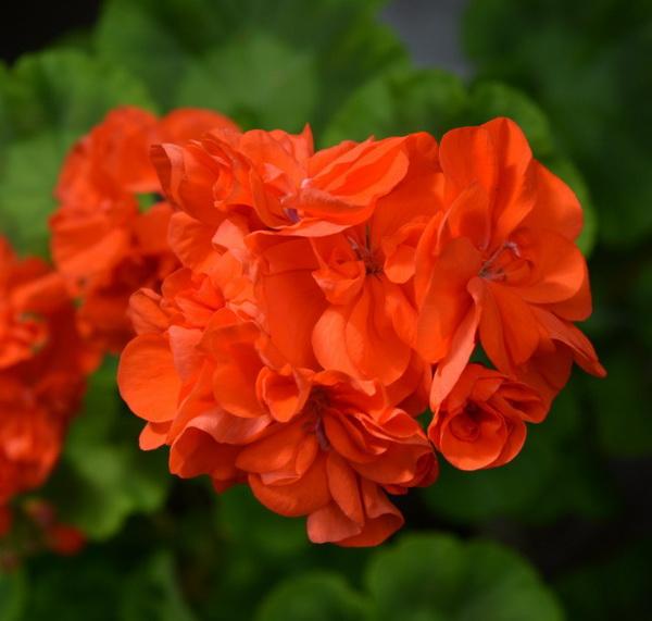 Герань (пеларгония) оранжево-красная
