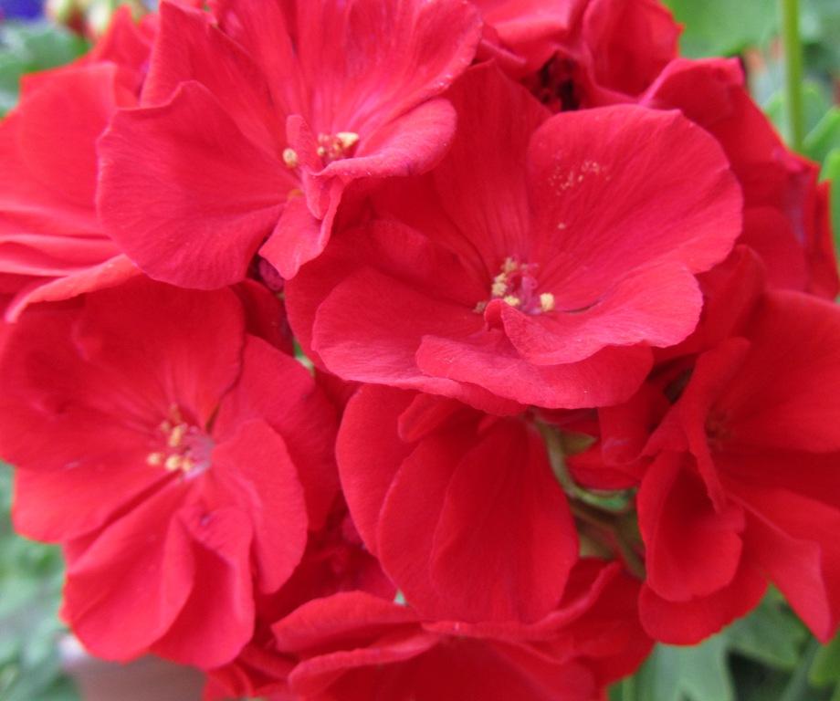 Герани (пеларгонии) Pinto Deep Rose и красно-малиновая