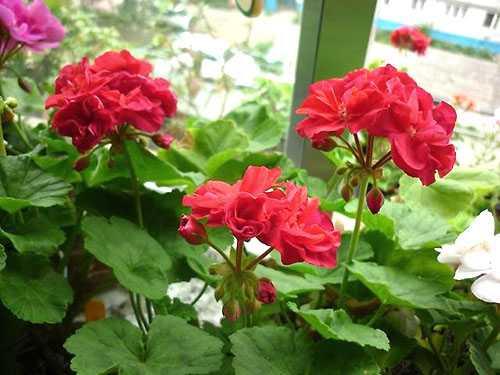 Герани (пеларгонии) малиновая и красно-малиновая