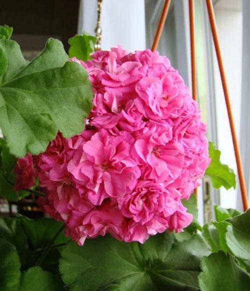 Герани (пеларгонии) малиновая и нежно-розовая