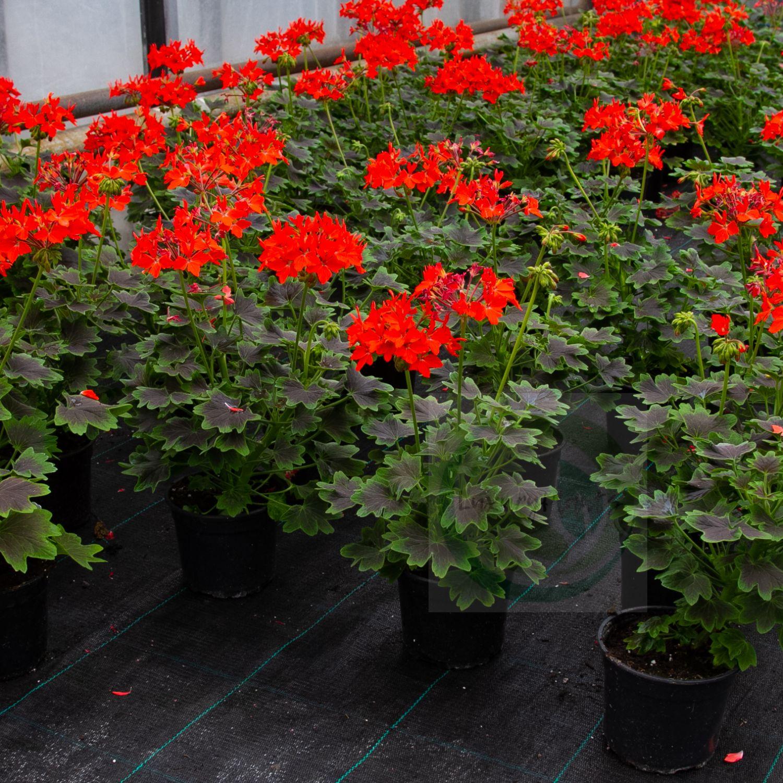 Герани (пеларгонии) красная и оранжево-красная