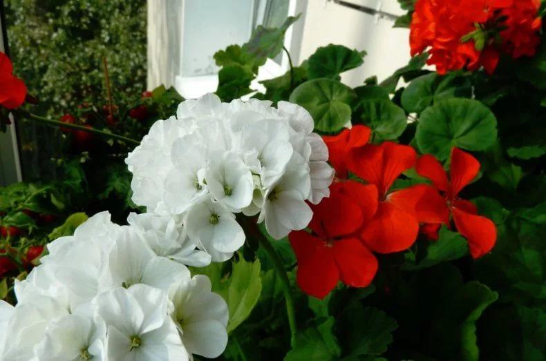 Герани (пеларгонии) белая и оранжево-красная