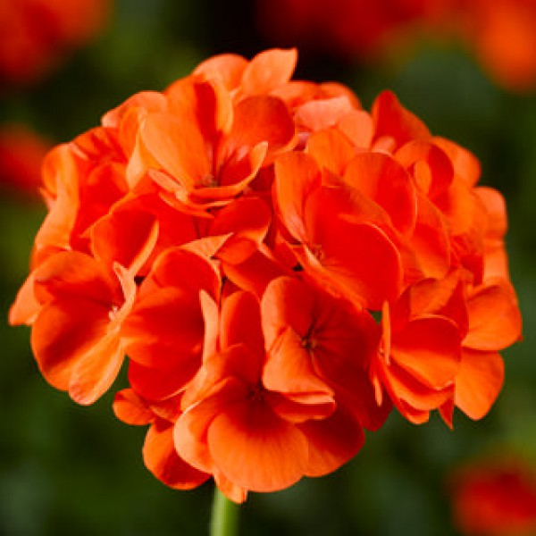 Пеларгония Maverick Orange F1