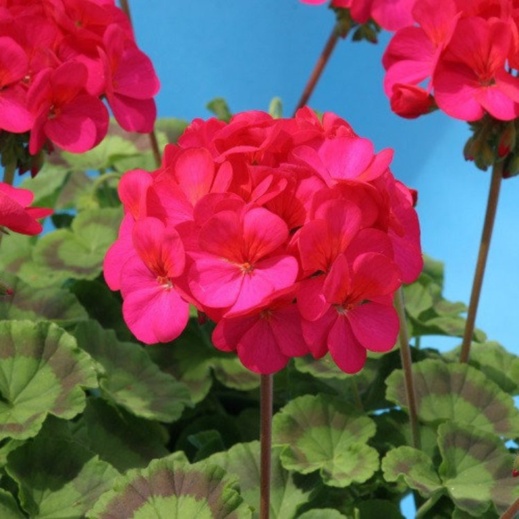 Герань (пеларгония) красно-розовая