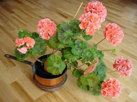 Расцветает пеларгония...