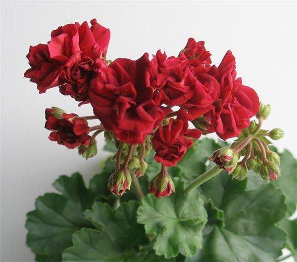 Розоцветная (Rosebud) пеларгония (герань) на клумбе