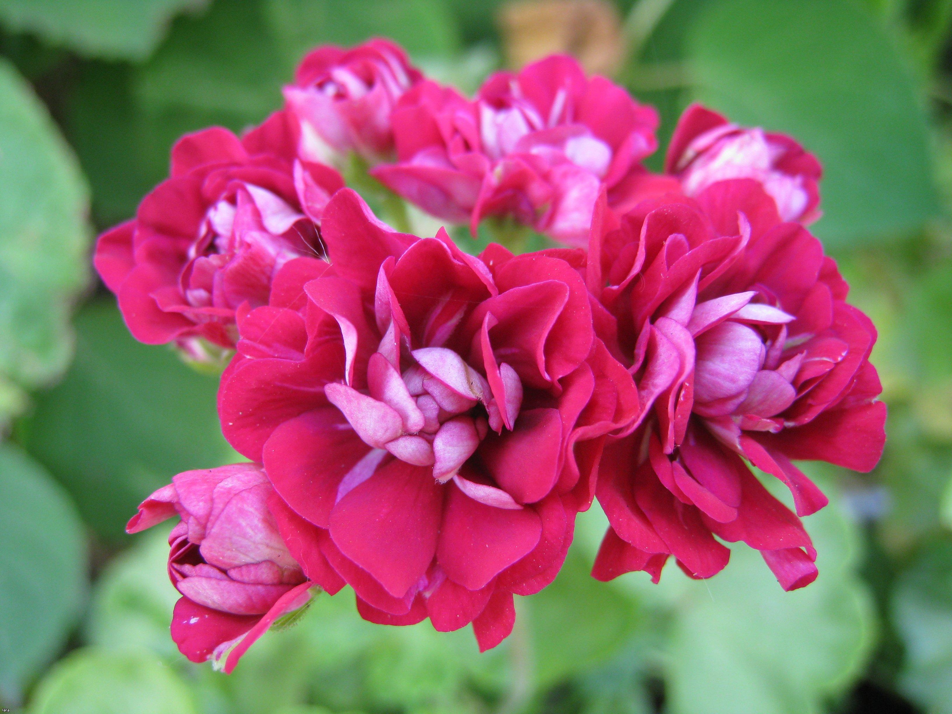 Розебудная пеларгония (герань) красно-розовая