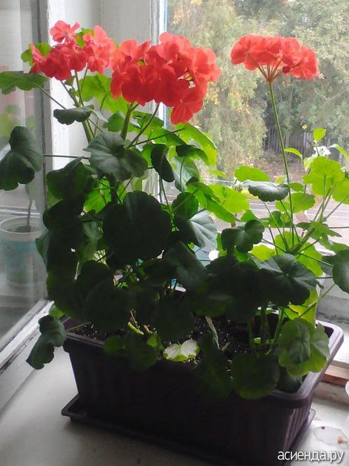 Герань цветет на окне...