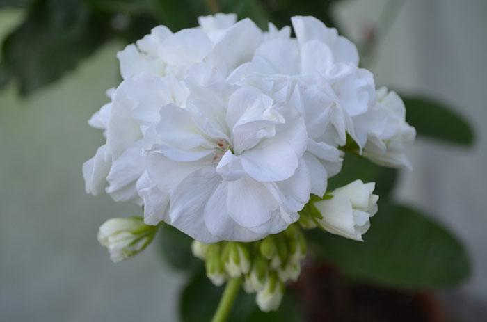 Пеларгония белая махровая