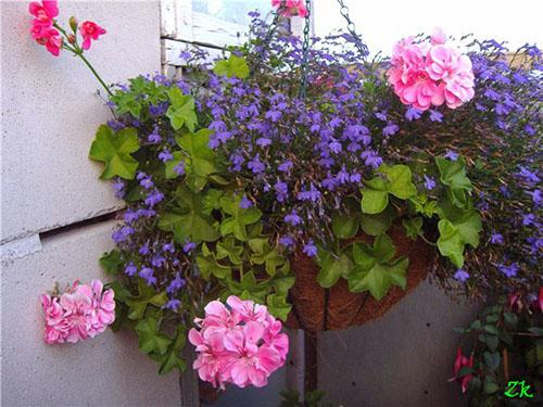 Летом на лоджии. Зональная розебудная пеларгония