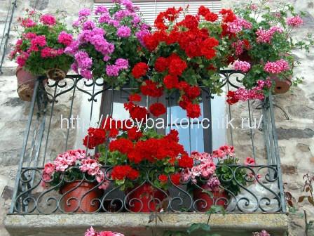 герани на моем балконе в Тунисе (г. Хаммамет)