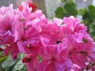 Герань сиренево-розовая махровая