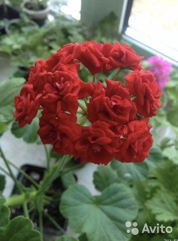 Герань (пеларгония) красная махровая