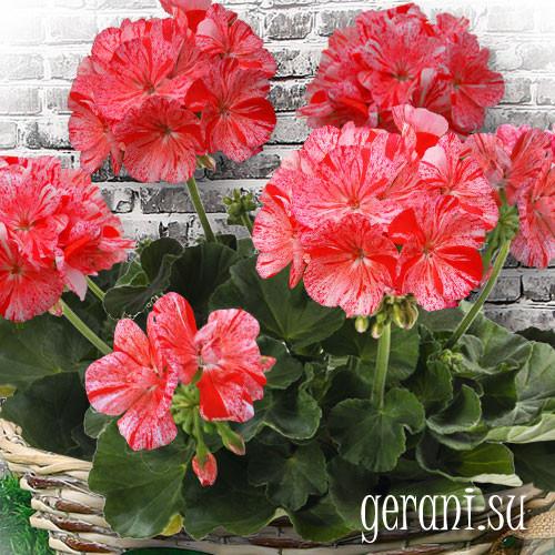 Герани  (пеларгонии) красная, лососевая и белая