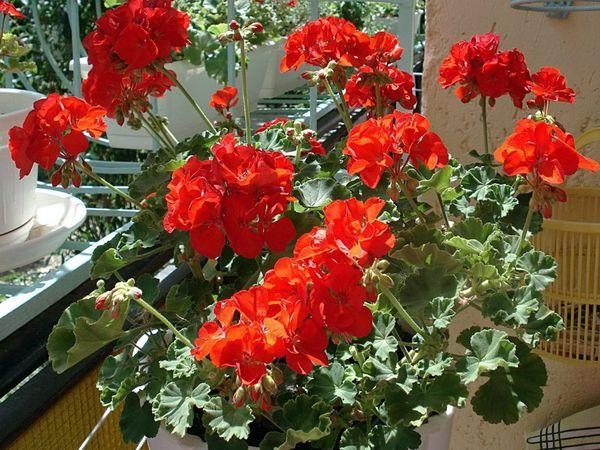 Самые популярные - герани красного цвета