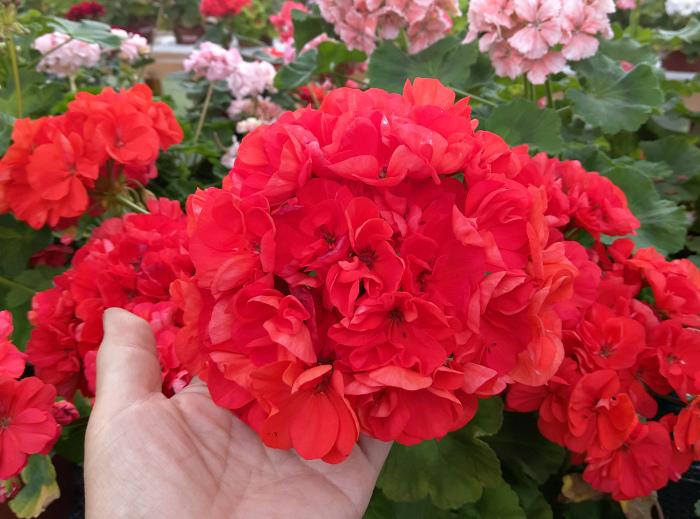Герань (пеларгония) красная, миниатюрная