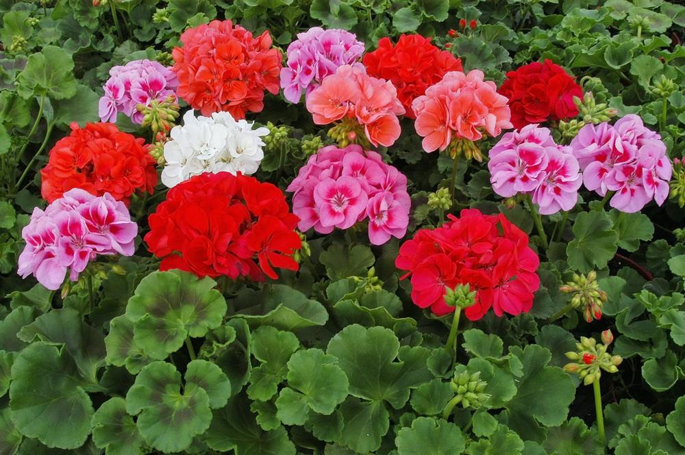 Герани (пеларгонии) розовая и красная махровые
