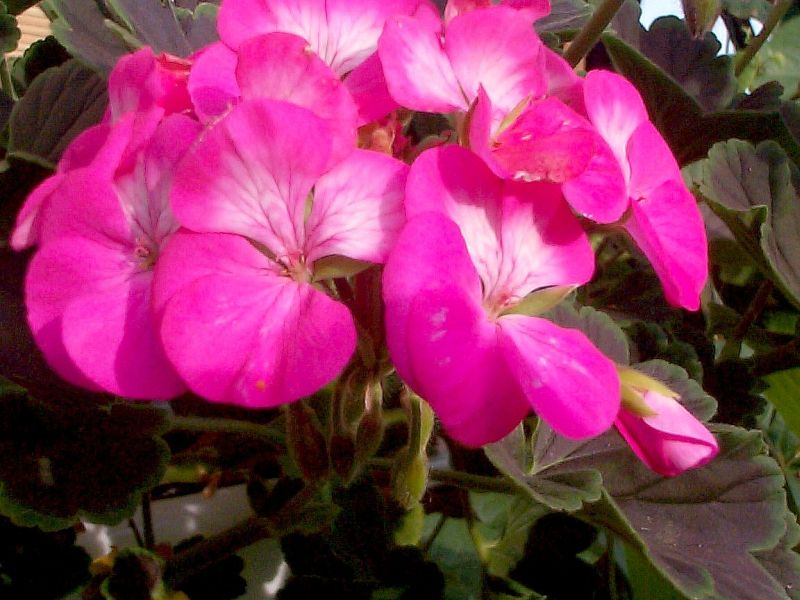 Пеларгония (герань) лососево-розовая