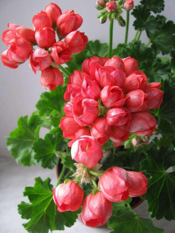Герань (пеларгония) Розебуда сиренево-красная