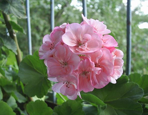 Герань (пеларгония) нежно-розовая (как яблоневый цвет)