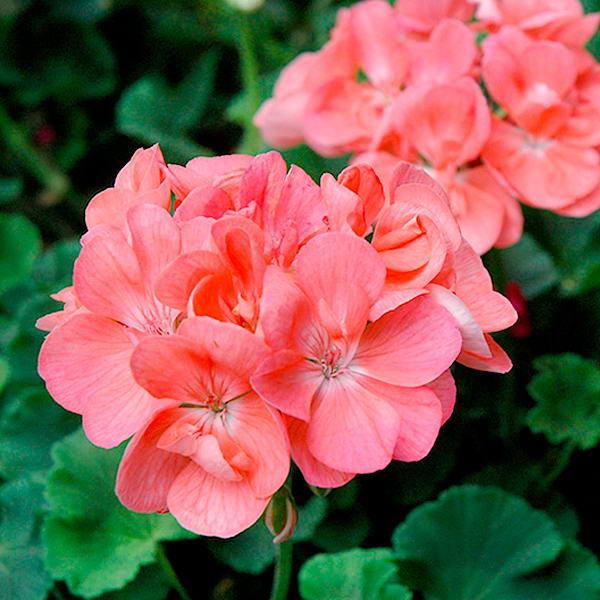 Герань (пеларгония) розовая с белым центром # 2