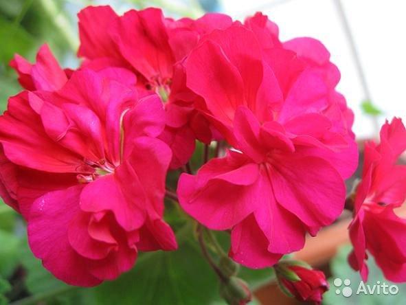 Герань (пеларгония) красно-малиновая махровая